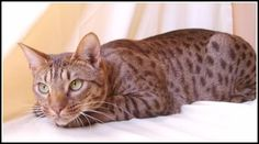 Ocicats & Kitten Photos - Cat Pictures Ocicat, Spotted Cat, Kitten Photos, American Shorthair, Sky Photos, Abyssinian, Cattery, Siamese, Cat Breeds
