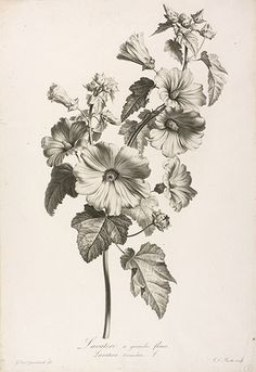 Hunt Institute for Botanical Documentation promotes the history of botany through its collections, research, exhibitions, publications, and services. Vintage Botanical Prints, Botanical Drawings, Botanical Illustration, Flower Sketches, Art Sketches, Art Drawings, Botanical Flowers, Botanical Art, Gravure Illustration