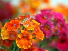Nemesia strumosa Flowers love orange and fucshia together.