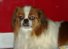 Butterscotch is an adoptable Japanese Chin Dog in Owatonna, MN. Butterscotch is a 13 pound, Red with white, 1 year old, female Japanese Chin, presently living in a foster home in Owatonna MN.  Butters...
