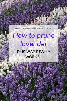 This easy, foolproof way of pruning lavender will keep your lavender flowering in the summer and in neat shapes in the winter. #gardening #middlesizedgarden #backyard #garden Garden Centre, Colorful Garden, Lavender Flowers, Out Of This World, Shade Garden, Countryside, Cities, Scenery, Novels