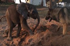 This Abandoned Baby Elephant Finds Hope In An Unusual Companion - http://www.lifedaily.com/this-abandoned-baby-elephant-finds-hope-in-an-unusual-companion/