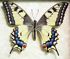 Japanese Butterfly Papilio Machaon [Female]. This Yellow Swallow-tail butterfly is commonly known as the Old World Swallowtail