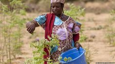 June 15, 2012-Nigeria's new hunger fighting trees are helping fight malnutrition!