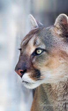 Nov 2019 - On Alert - Close up portrait of the mountain lion Lion Photography, Wild Animals Photography, Photography Portraits, Animals Of The World, Animals And Pets, Cute Animals, Baby Animals, Beautiful Cats, Big Cats
