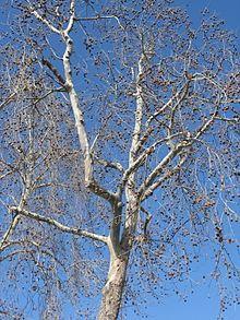 Bare Platanus racemosa.jpg