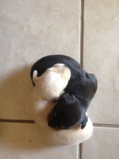 Adorable puppies in a yin/yang position Cute Puppies, Cute Dogs, Dogs And Puppies, Doggies, Adorable Babies, Beautiful Creatures, Animals Beautiful, Beautiful Things, Cute Baby Animals