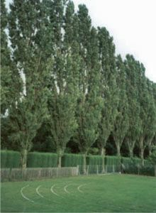 Lombardy Poplar (privacy) fast growing 6 per year. wish list Privacy Landscaping, Backyard Privacy, Home Landscaping, Privacy Hedge, Privacy Screens, Backyard Ideas, Privacy Trees Fast Growing, Growing Tree, Farm Gardens