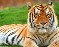 A triste história do menino e do tigre