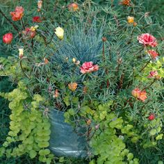 I love old buckets. All you need to do to turn one into a great container garden is to pound some nail holes in the bottom for drainage. I filled this one with an ornamental grass, blue fescue, some creeping Jenny, to spill over the sides, and portulaca, also known as moss rose.