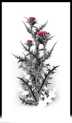 Would make a cool tat! Botanical Illustration, Botanical Prints, Scotch Image, Scottish Thistle Tattoo, Mastectomy Tattoo, Thistle Flower, Celtic Tattoos, Arte Floral, Craft Patterns