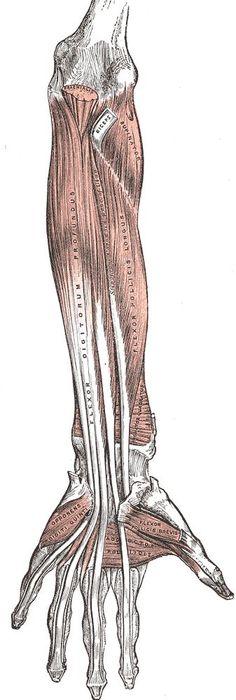 human anatomy  : Lower Back Muscle Anatomy   #anatomy #back #lower #muscle