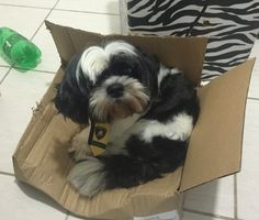 Who said boxes are only for cats?  dogs, shih tzu