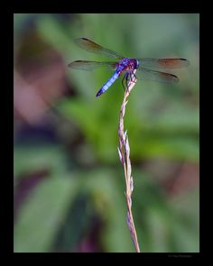 Blue Dragonfly by Chris Flees