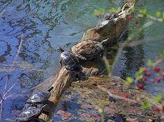 Eileen Blair - Turtles7