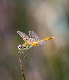 Picture of a beautiful dragonfly.