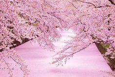 満開だった桜がはかなく散りだす頃になると、ふつうは一抹の寂しさを覚えるもの。しかし、その先に「本当の見頃」が待っている桜があります。 それが、青森県弘...