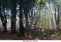 Sun rays shining through trees in forest, Emsland, Lower Saxony, Germany - Stock Image