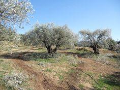 oliviers  | Moulin de la Malissonne: QUELQUES CONSEILS POUR TAILLER SES OLIVIERS