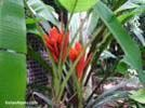 Growing and caring for banana tree
