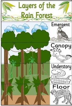 After teaching my students the different levels of the rainforest I would have them match which section goes with which. I can incorporate Life Science in this section because some animals can fly while others cannot. What is gravity then? Rainforest Preschool, Rainforest Classroom, Rainforest Crafts, Rainforest Project, Rainforest Habitat, Rainforest Theme, Rainforest Animals, Amazon Rainforest, Rainforest Ecosystem