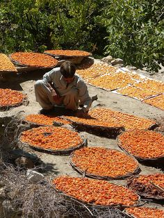 Drying apricots in the Hunza Valley, Pakistan.