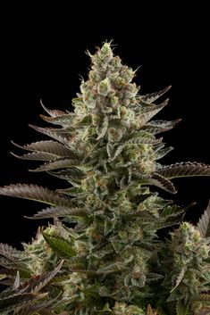 Legal Weed Leaf is America's #1 Mail Order Marijuana that caters to both recreational consumers and medical patients. With an incredible selection of cannabis products. Buy weed online, Cannabis Oil, Marijuana Edibles, marijuana online and more!. We operate on a 420 mail order policy with thousands of packages DELIVERED WORLDWIDE and loved by many with guaranteed delivery or get your money back! Go to .... https://www.legalweedleaf.com Text or call +1(657) 226-0245