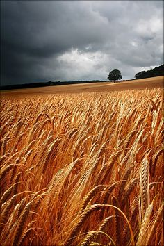 barley field and stormy sky Countryside Wallpaper, Love Wallpapers Romantic, Fields Of Gold, Wheat Fields, Grey Skies, Felder, Nostalgia, Lany, Mother Nature