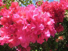 Bugambilias  Flowers