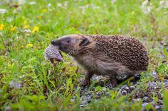 Hedgehog mother carrying her baby