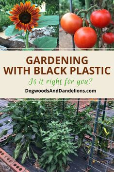 Gardening Vegetable Have you ever tried gardening with black plastic? This article explains the pros and cons to putting black plastic in your garden. Potager Garden, Herb Garden, Garden Soil, Gardening For Beginners, Gardening Tips, Types Of Herbs, Container Gardening Vegetables, Vegetable Gardening, Vegetables Garden