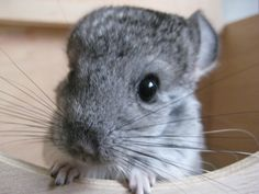 nothing is cuter than a baby chinchilla