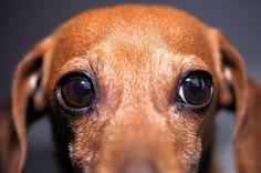 Doxie  eyes