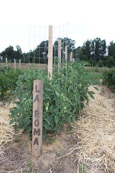 Growing Tomatoes Tomato cage hybrid: stake-a-cage-romas - Tomato plants grow healthier and produce more fruit when they're supported off the ground. Tomato cages provide great support, but can get pricey. Learn how to make your own with these 10 ideas.