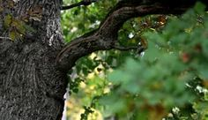 depositphotos_42211469-Image-of-oak-tree-branch-and-some-leaves.jpg 380×220 pixels