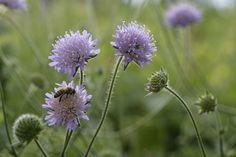 Farben des Frühherbstes: Acker-Witwenblume   looduskalender.ee