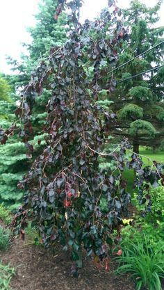 Purple Fountain Beech Beech Tree, Fountain, Trees, Purple, Plants, Tree Structure, Water Fountains, Plant, Wood