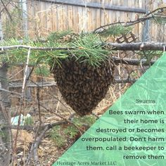 Bees swarm when overpopulated or their home is damaged