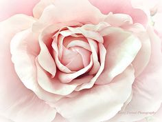 Roses Photography Pink Pastel Rose Pink Roses Print Dreamy