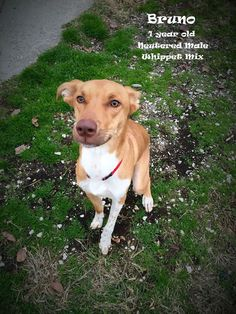 Boone County Animal Shelter in KY....Bruno is a 1 year old Whippet/Lab mix who loves to exercise! If you're looking for a running or walking partner, Bruno is your guy! He is just as affectionate as he is cute and he would make a wonderful family pet!