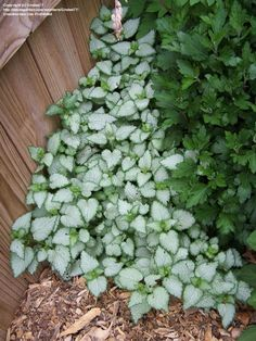 Dead nettle Perennial groundcover Zones 3 9 Full sun to shade Average welldrained soil Full Sun Perennials, Shade Perennials, Shade Plants, Full Sun Container Plants, Full Sun Plants, Front Garden Landscape, Green Landscape, Landscape Design, Shade Landscaping