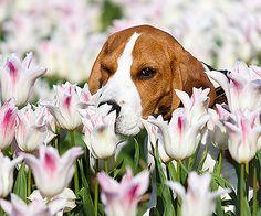 Beagle :-)
