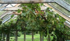 Vindruvor i kallväxthus.
