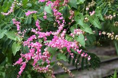 Coral vine.  So pretty and hearty, but plant carefully.  Very invasive both above and under ground.