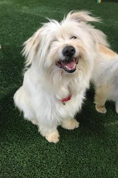 COLBY is an adoptable Tibetan Terrier searching for a forever family near Van Nuys, CA. Use Petfinder to find adoptable pets in your area.