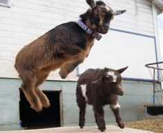 Try this site synchronized goat raising beginners guide Goat Picture, Fainting Goat, Mini Goats, Goat Care, Nigerian Dwarf Goats, Raising Goats, Elf Ears, Goat Farming, Backyard Farming