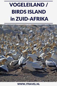 Op Vogeleiland/Birds Island heb je de kans om de blauwogige jan-van-genten van dichtbij te zien. Vogeleiland is één van de slechts zes locaties wereldwijd waar deze jan-van-genten broeden. En het is de enige broedplaats die gemakkelijk toegankelijk is voor het publiek. Hier lees je meer over Vogeleiland. Lees je mee? #vogeleiland #zuidafrika #jtravel #jtravelblog