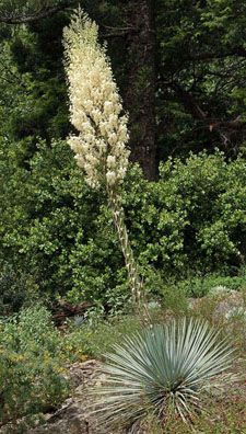 "Yucca whipplei ""Our Lord's Candle"" Hesperoyucca whipplei"