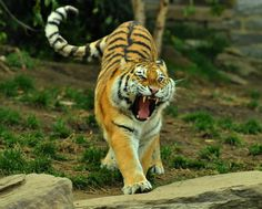 Beware of the tiger Chinese Tiger, Angry Tiger, Life Of Walter Mitty, Roaring Lion, Mammals, Reptiles, Big Cats, Predator, Lions