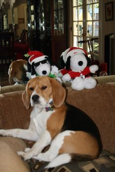 Beagle Pack!